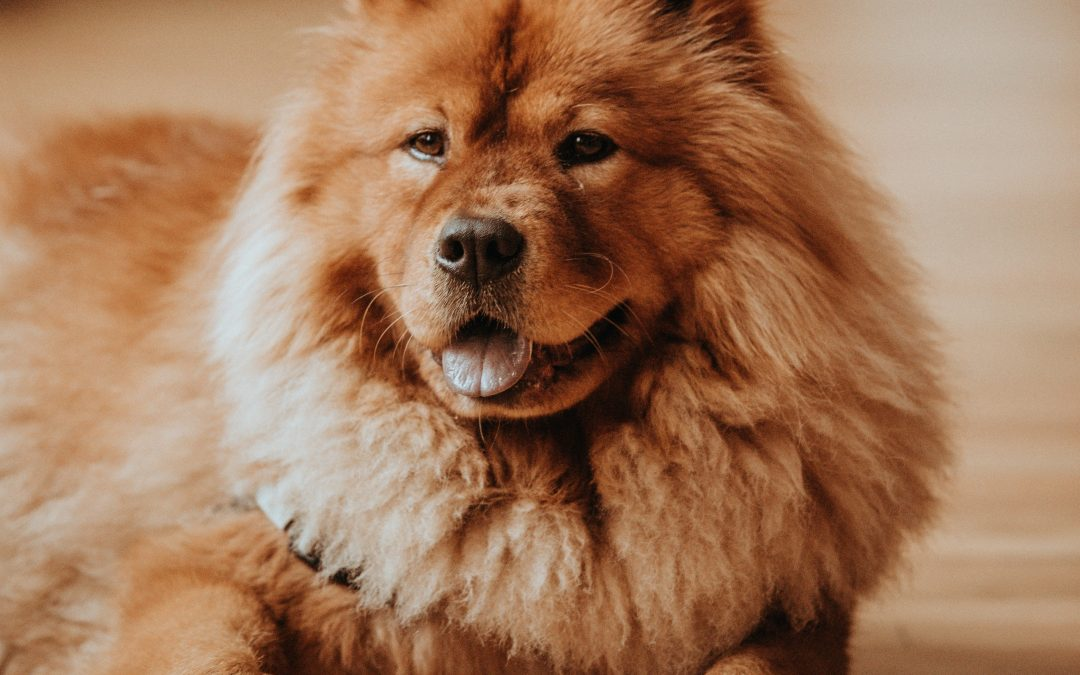 Those dog breeds that Chinese pet lovers adopt